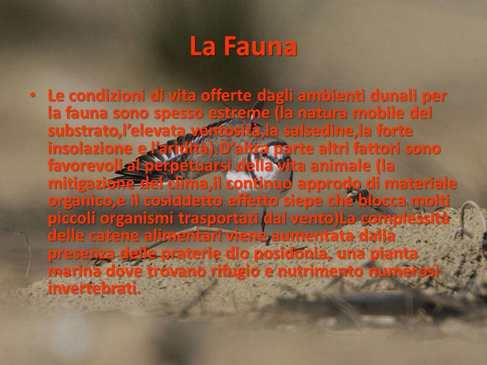 La Fauna Le condizioni di vita offerte dagli ambienti dunali per la fauna sono spesso estreme (la natura mobile del substrato,lelevata ventosità,la sa