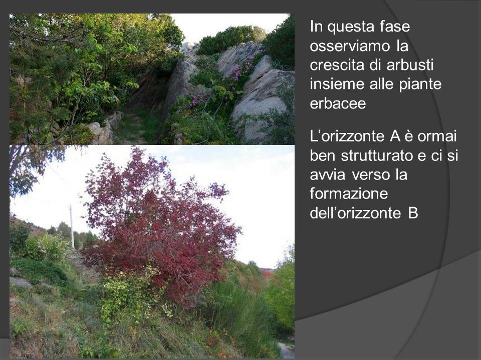In questa fase osserviamo la crescita di arbusti insieme alle piante erbacee Lorizzonte A è ormai ben strutturato e ci si avvia verso la formazione de