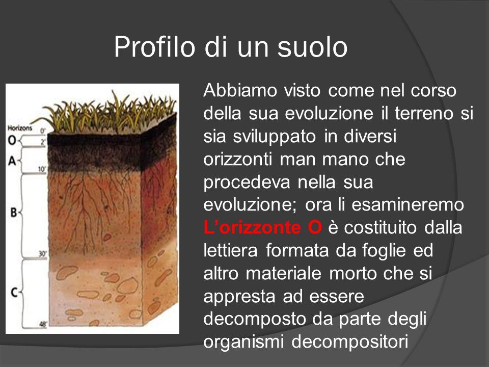 Profilo di un suolo Abbiamo visto come nel corso della sua evoluzione il terreno si sia sviluppato in diversi orizzonti man mano che procedeva nella sua evoluzione; ora li esamineremo Lorizzonte O è costituito dalla lettiera formata da foglie ed altro materiale morto che si appresta ad essere decomposto da parte degli organismi decompositori