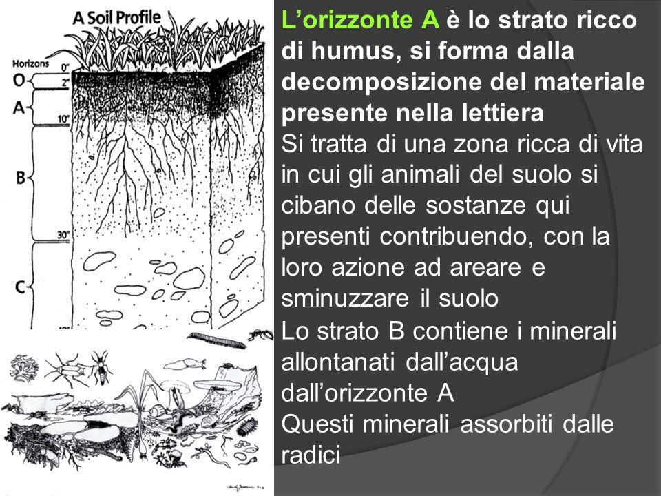 Lorizzonte A è lo strato ricco di humus, si forma dalla decomposizione del materiale presente nella lettiera Si tratta di una zona ricca di vita in cu