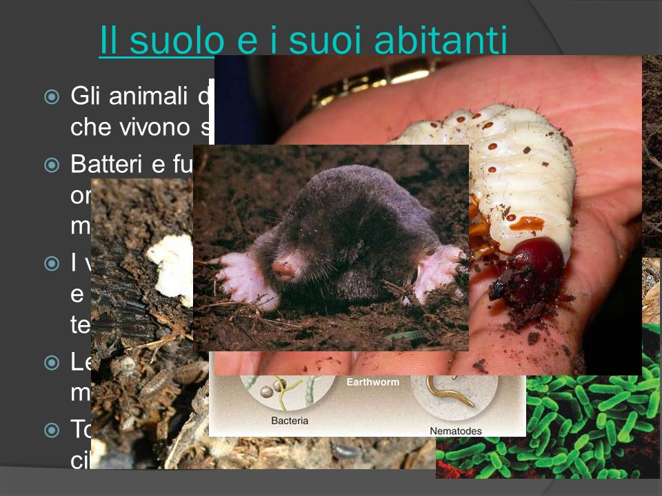 Il suolo e i suoi abitanti Gli animali del suolo dipendono dalle piante che vivono sul suolo Batteri e funghi demoliscono la sostanza organica prodott