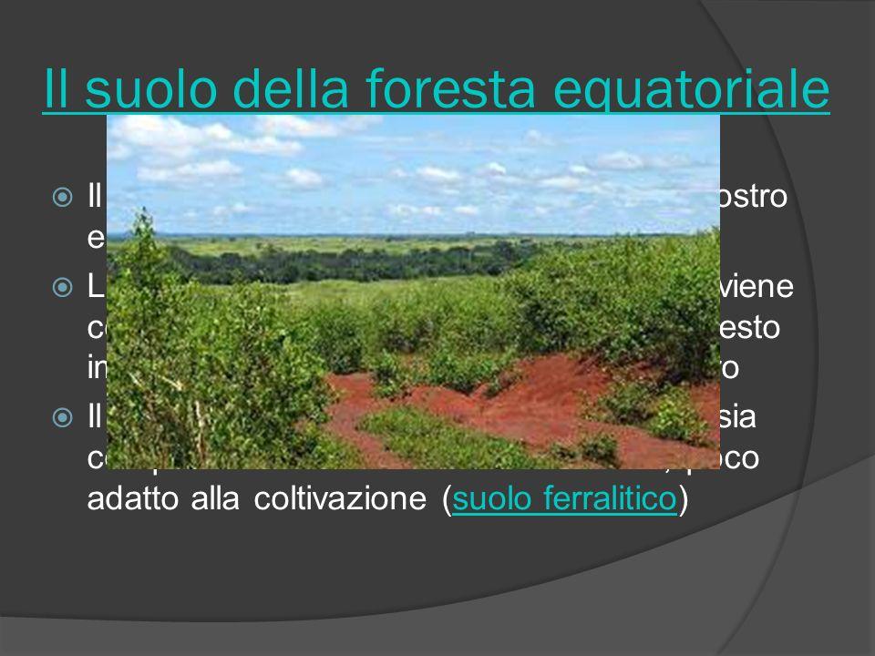Il suolo della foresta equatoriale Il suolo della foresta è molto diverso dal nostro e manca o quasi dellorizzonte A La materia organica appena decomp
