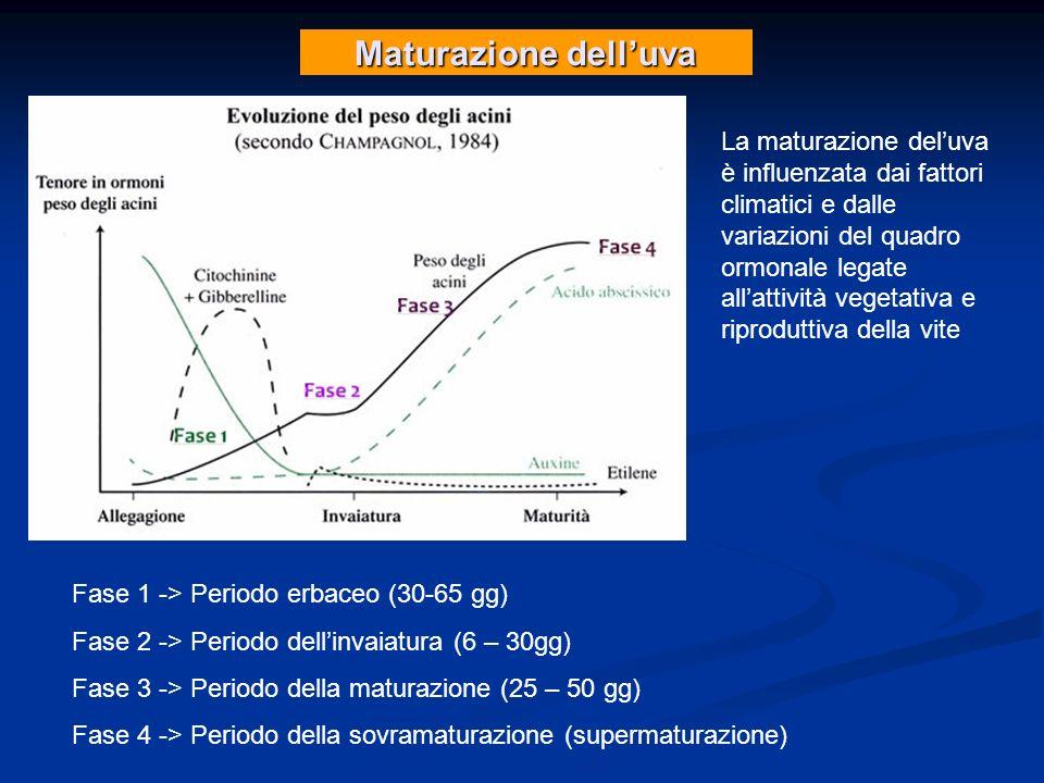 Maturazione delluva La maturazione deluva è influenzata dai fattori climatici e dalle variazioni del quadro ormonale legate allattività vegetativa e r