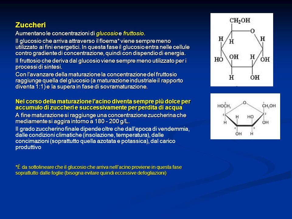 Zuccheri Aumentano le concentrazioni di glucosio e fruttosio. Il glucosio che arriva attraverso il floema* viene sempre meno utilizzato ai fini energe