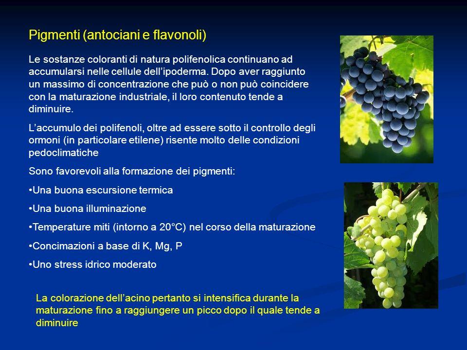 Pigmenti (antociani e flavonoli) Le sostanze coloranti di natura polifenolica continuano ad accumularsi nelle cellule dellipoderma. Dopo aver raggiunt