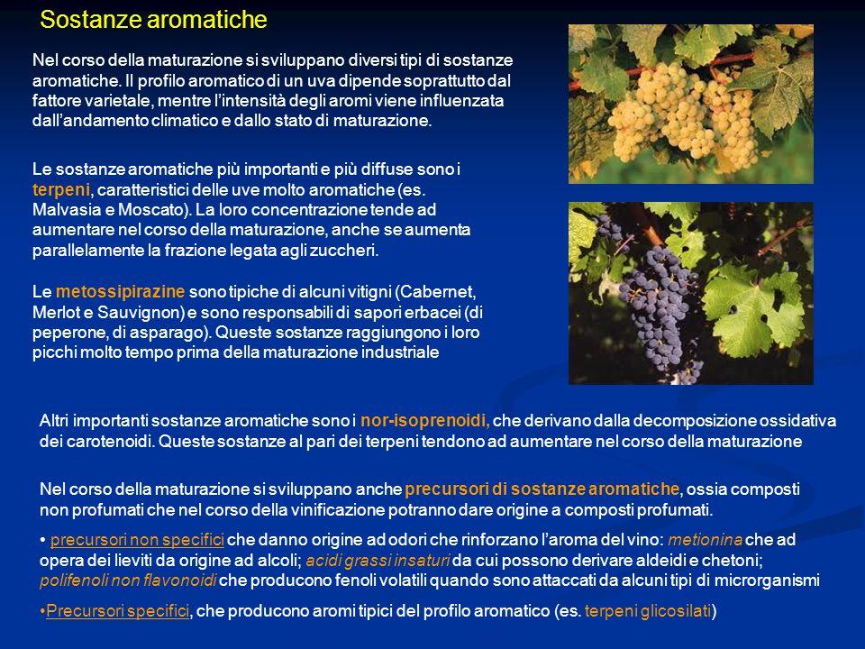 Sostanze aromatiche Nel corso della maturazione si sviluppano diversi tipi di sostanze aromatiche. Il profilo aromatico di un uva dipende soprattutto