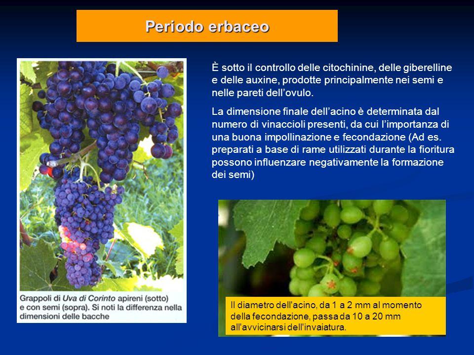 Periodo erbaceo È sotto il controllo delle citochinine, delle giberelline e delle auxine, prodotte principalmente nei semi e nelle pareti dellovulo. L