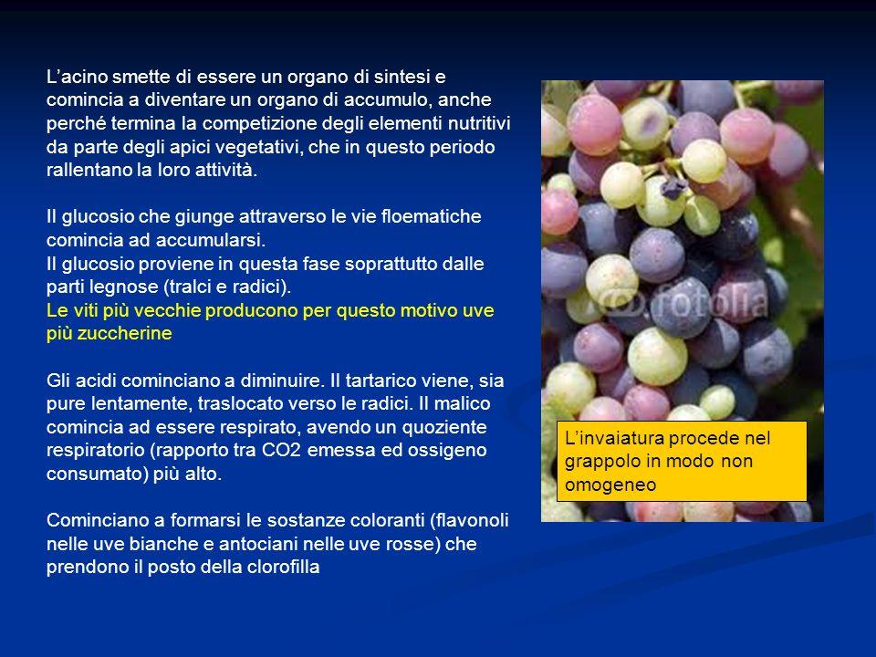 Periodo della maturazione Nella fase di maturazione aumenta la produzione di acido abscissico e successivamente viene prodotto anche etilene.