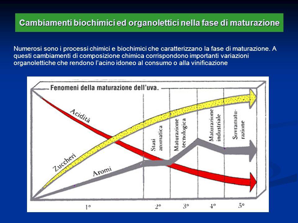 Cambiamenti biochimici ed organolettici nella fase di maturazione Numerosi sono i processi chimici e biochimici che caratterizzano la fase di maturazi