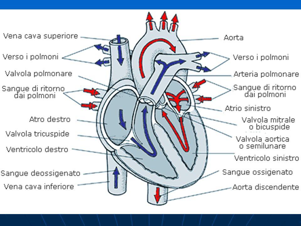 1.La Gittata Sistolica Il maggior afflusso di sangue al torace fa aumentare il riempimento del cuore e di conseguenza la gittata sistolica.