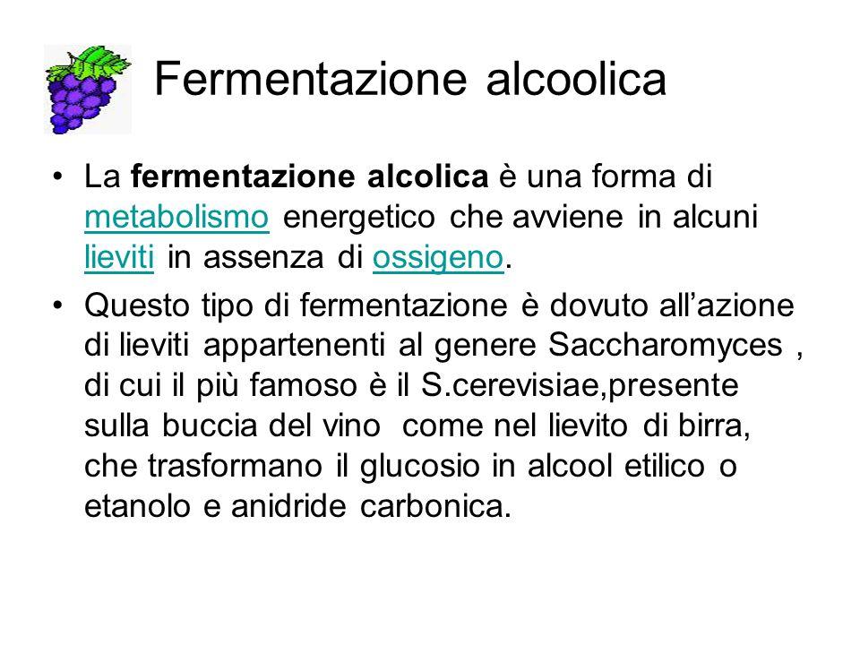 Lalcool prodotto agisce come antisettico nei confronti degli altri microrganismi presenti che muoiono quando la concentrazione dellalcool aumenta C6H12O6 2 CO2 + CH3 CH2OH alcool etilico La fermentazione alcoolica è utilizzata per la produzione del vino della birra dello champagne,delle bevande alcooliche in generale e nella produzione del pane