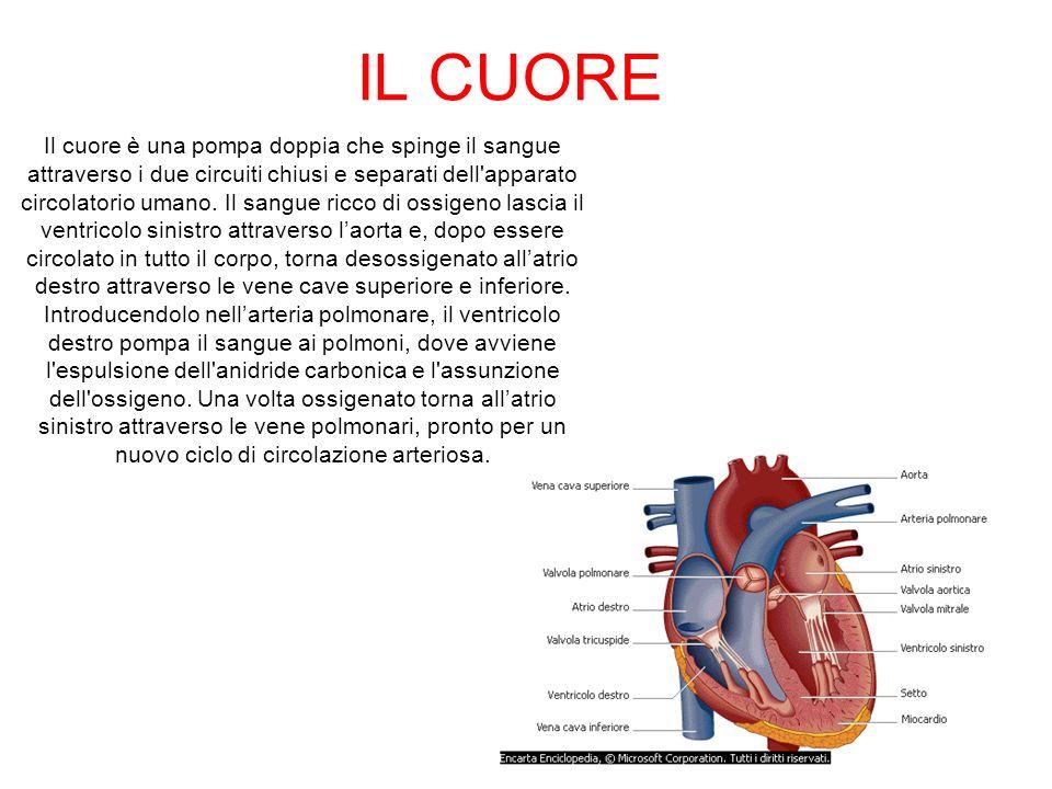 IL CUORE Il cuore è una pompa doppia che spinge il sangue attraverso i due circuiti chiusi e separati dell'apparato circolatorio umano. Il sangue ricc