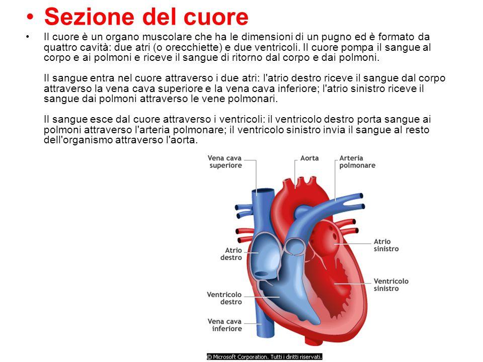 Sezione del cuore Il cuore è un organo muscolare che ha le dimensioni di un pugno ed è formato da quattro cavità: due atri (o orecchiette) e due ventr