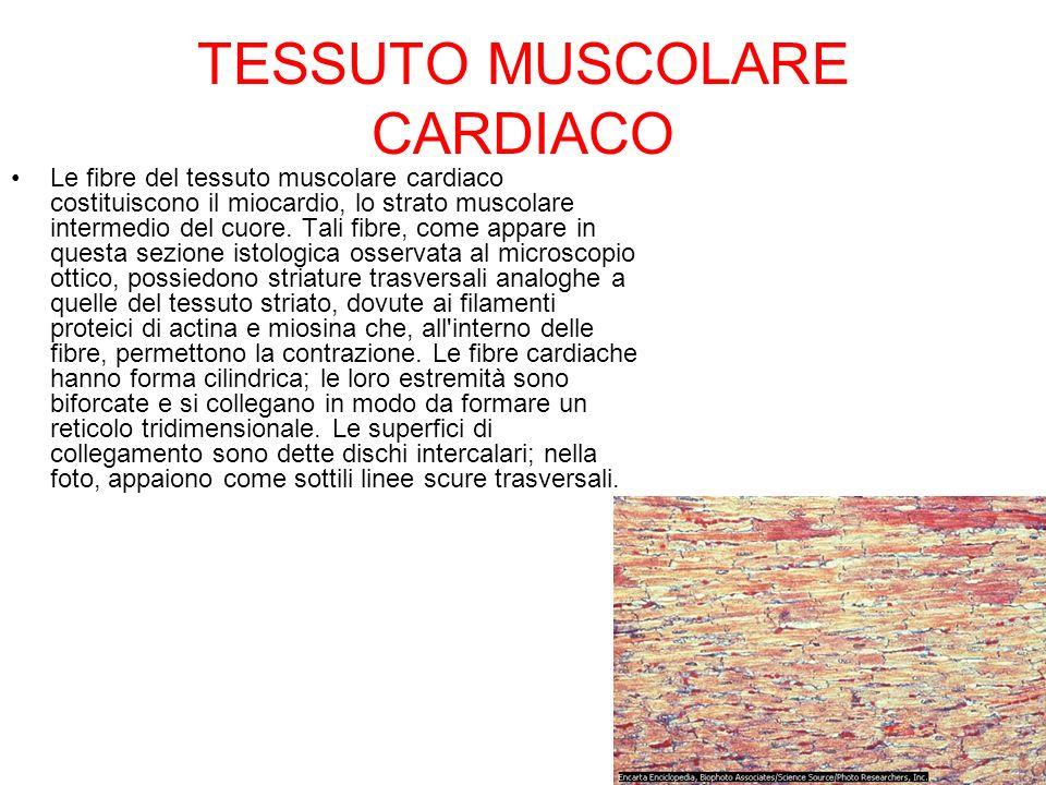 TESSUTO MUSCOLARE CARDIACO Le fibre del tessuto muscolare cardiaco costituiscono il miocardio, lo strato muscolare intermedio del cuore. Tali fibre, c