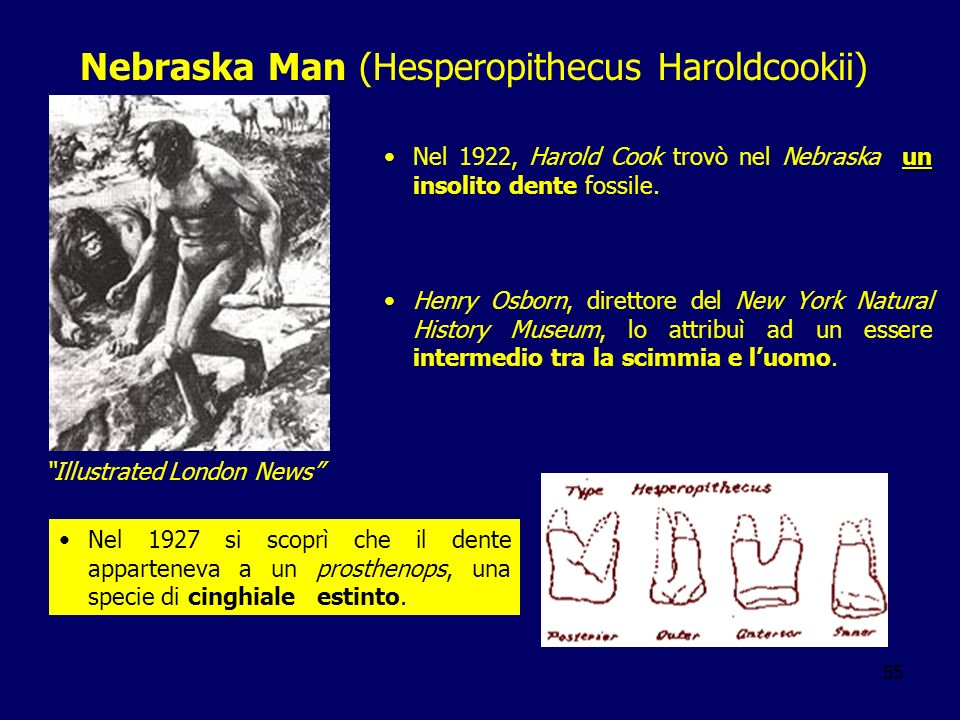 55 Nebraska Man (Hesperopithecus Haroldcookii) unNel 1922, Harold Cook trovò nel Nebraska un insolito dente fossile. Henry Osborn, direttore del New Y