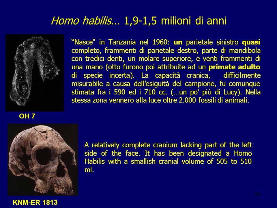 64 Homo habilis… 1,9-1,5 milioni di anni Nasce