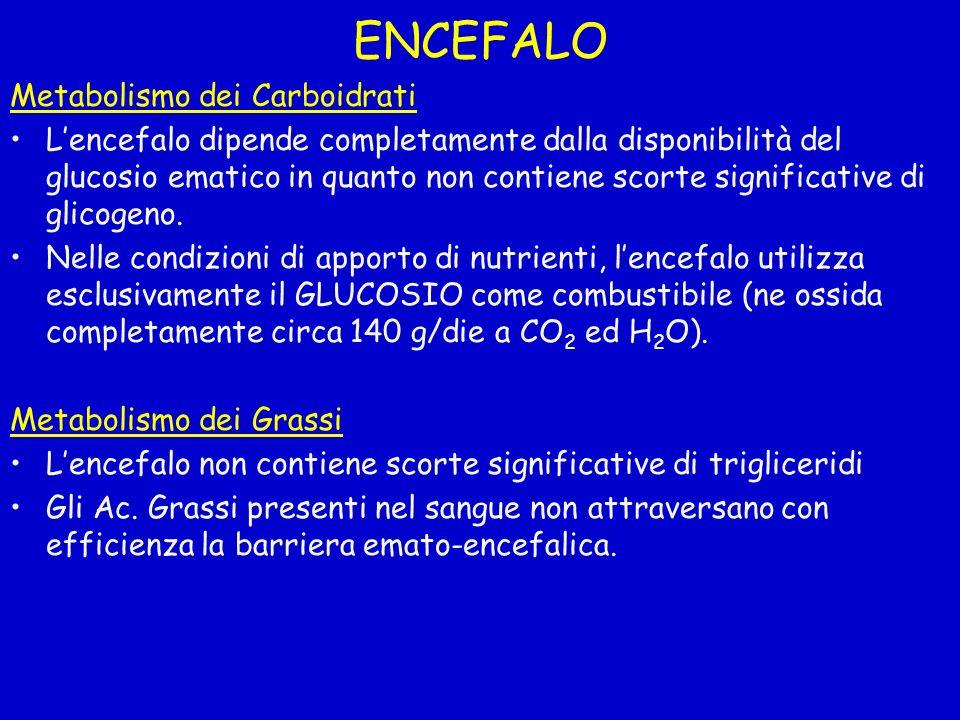 ENCEFALO Metabolismo dei Carboidrati Lencefalo dipende completamente dalla disponibilità del glucosio ematico in quanto non contiene scorte significat