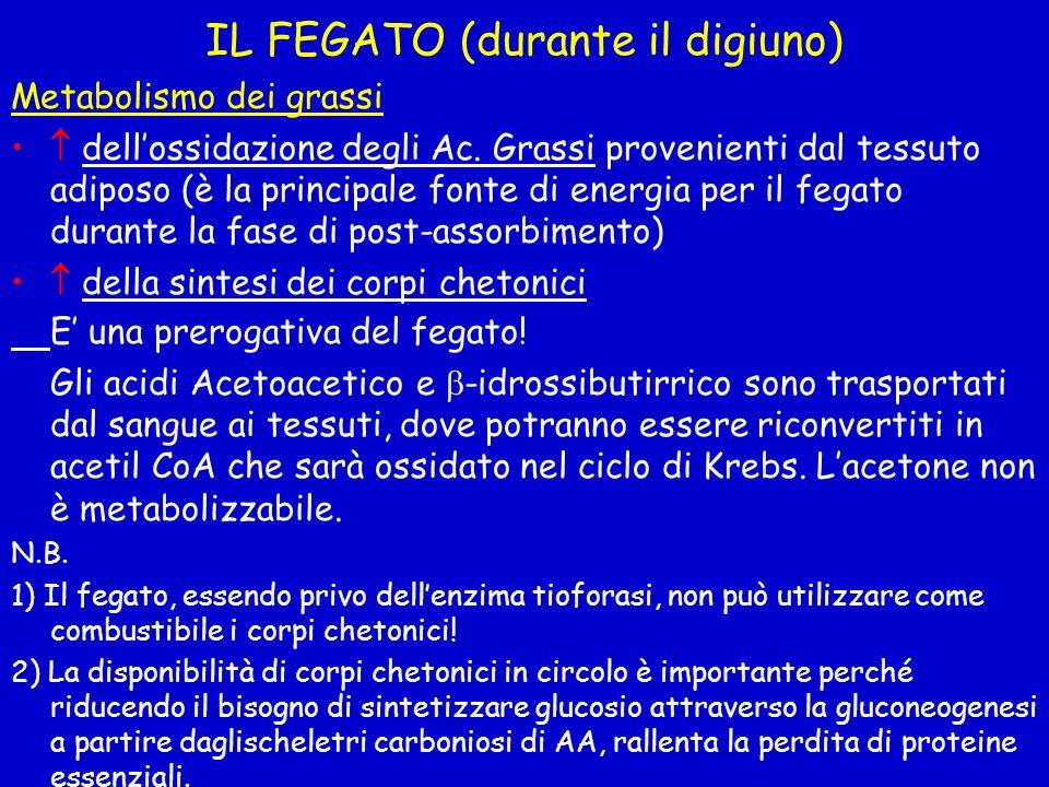 IL FEGATO (durante il digiuno) Metabolismo dei grassi dellossidazione degli Ac. Grassi provenienti dal tessuto adiposo (è la principale fonte di energ