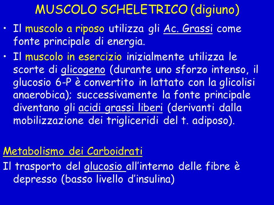 MUSCOLO SCHELETRICO (digiuno) Il muscolo a riposo utilizza gli Ac. Grassi come fonte principale di energia. Il muscolo in esercizio inizialmente utili