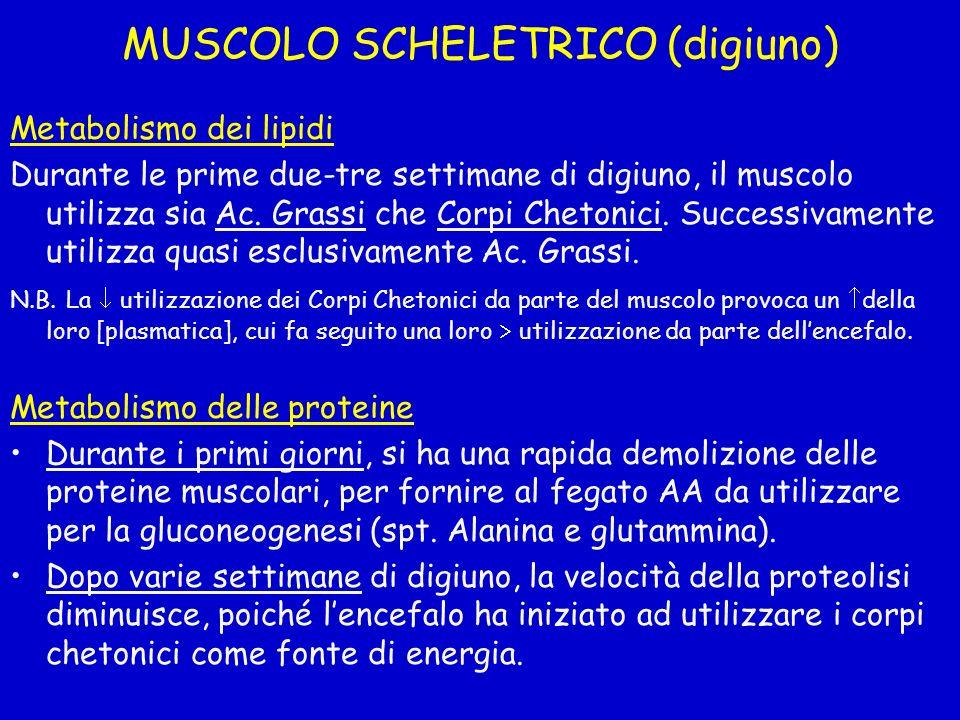MUSCOLO SCHELETRICO (digiuno) Metabolismo dei lipidi Durante le prime due-tre settimane di digiuno, il muscolo utilizza sia Ac. Grassi che Corpi Cheto