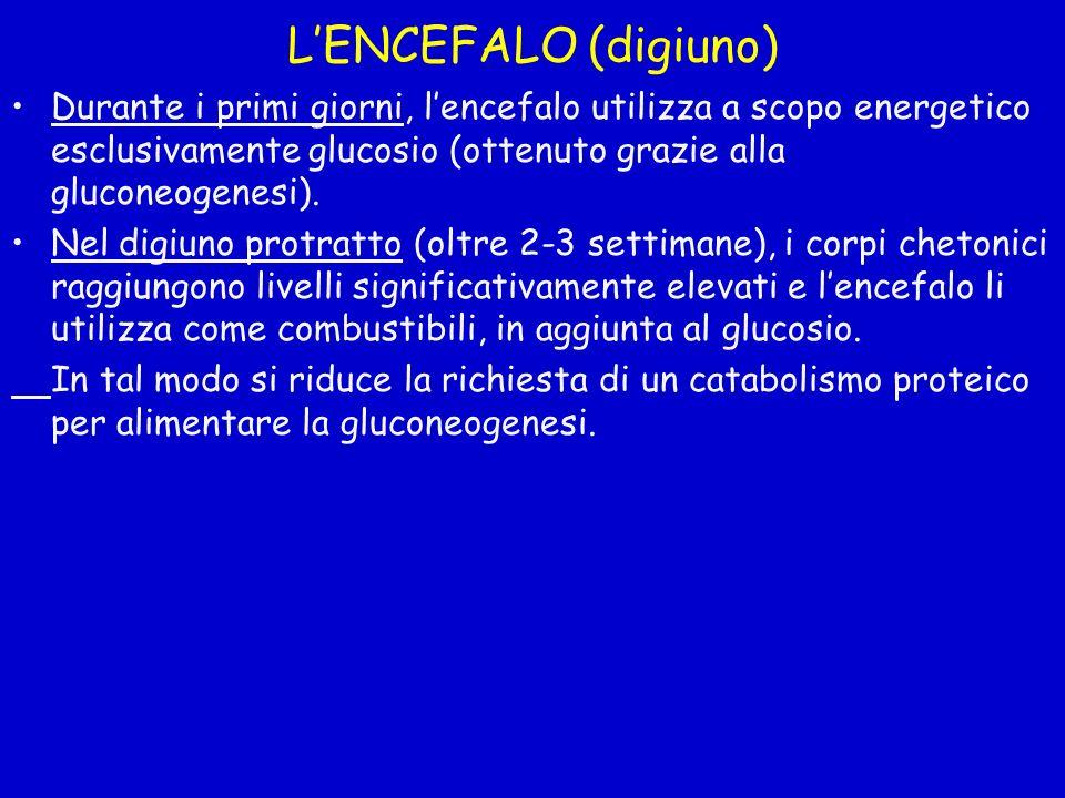 LENCEFALO (digiuno) Durante i primi giorni, lencefalo utilizza a scopo energetico esclusivamente glucosio (ottenuto grazie alla gluconeogenesi). Nel d