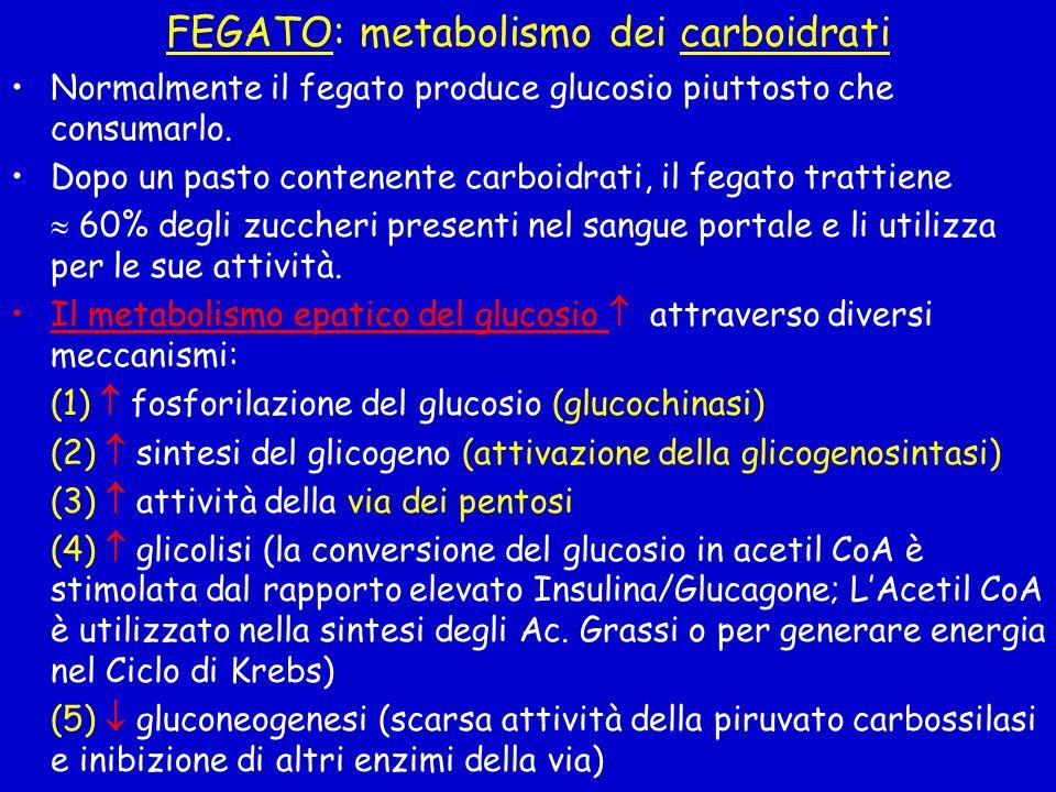 FEGATO: metabolismo dei carboidrati Normalmente il fegato produce glucosio piuttosto che consumarlo. Dopo un pasto contenente carboidrati, il fegato t