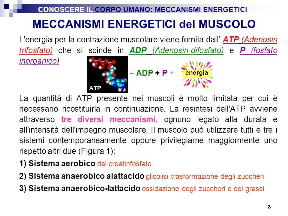 3 MECCANISMI ENERGETICI del MUSCOLO L'energia per la contrazione muscolare viene fornita dall ATP (Adenosin trifosfato) che si scinde in ADP (Adenosin