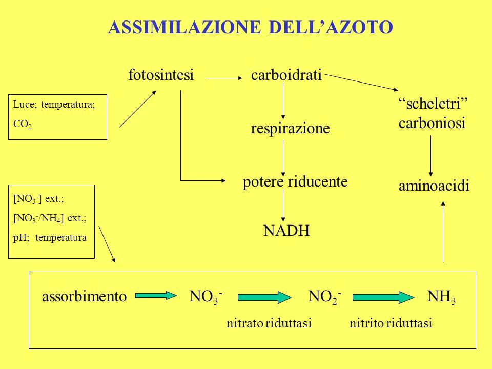 Due ipotesi sullaccumulo dei nitrati nelle piante: Ipotesi dellomeostasi: lassorbimento è regolato, con meccanismo a feed-back negativo, dalla concentrazione interna di nitrato (pool di riserva).