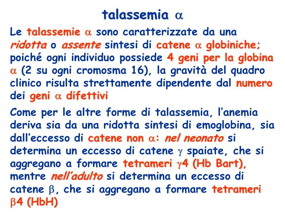 talassemie ridottaassentecatene globiniche; 4 geni per la globina numero geni difettivi Le talassemie sono caratterizzate da una ridotta o assente sintesi di catene globiniche; poiché ogni individuo possiede 4 geni per la globina (2 su ogni cromosma 16), la gravità del quadro clinico risulta strettamente dipendente dal numero dei geni difettivi talassemia talassemia catene non :nelneonato tetrameri 4 (Hb Bart), nelladulto tetrameri 4 (HbH) Come per le altre forme di talassemia, lanemia deriva sia da una ridotta sintesi di emoglobina, sia dalleccesso di catene non : nel neonato si determina un eccesso di catene spaiate, che si aggregano a formare tetrameri 4 (Hb Bart), mentre nelladulto si determina un eccesso di catene, che si aggregano a formare tetrameri 4 (HbH)