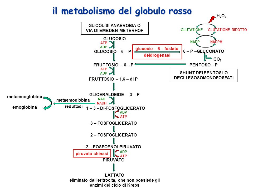 GLUCOSIO GLUCOSIO 6 P FRUTTOSIO 6 P GLICERALDEIDE 3 P 1 3 DI-FOSFOGLICERATO 3 FOSFOGLICERATO 2 FOSFOGLICERATO 2 FOSFOENOLPIRUVATO PIRUVATO LATTATO eliminato dalleritrocita, che non possiede gli enzimi del ciclo di Krebs GLICOLISI ANAEROBIA O VIA DI EMBDEN-METERHOF 6 P GLUCONATO PENTOSO P NADPH GLUTATIONE RIDOTTOGLUTATIONE H2O2H2O2 SHUNT DEI PENTOSI O DEGLI ESOSOMONOFOSFATI NAD NADH ADP ATP piruvato chinasi glucosio 6 fosfato deidrogenasi ATP ADP FRUTTOSIO 1,6 di P NADP il metabolismo del globulo rosso CO 2 metaemoglobina emoglobina metaemoglobina reduttasi