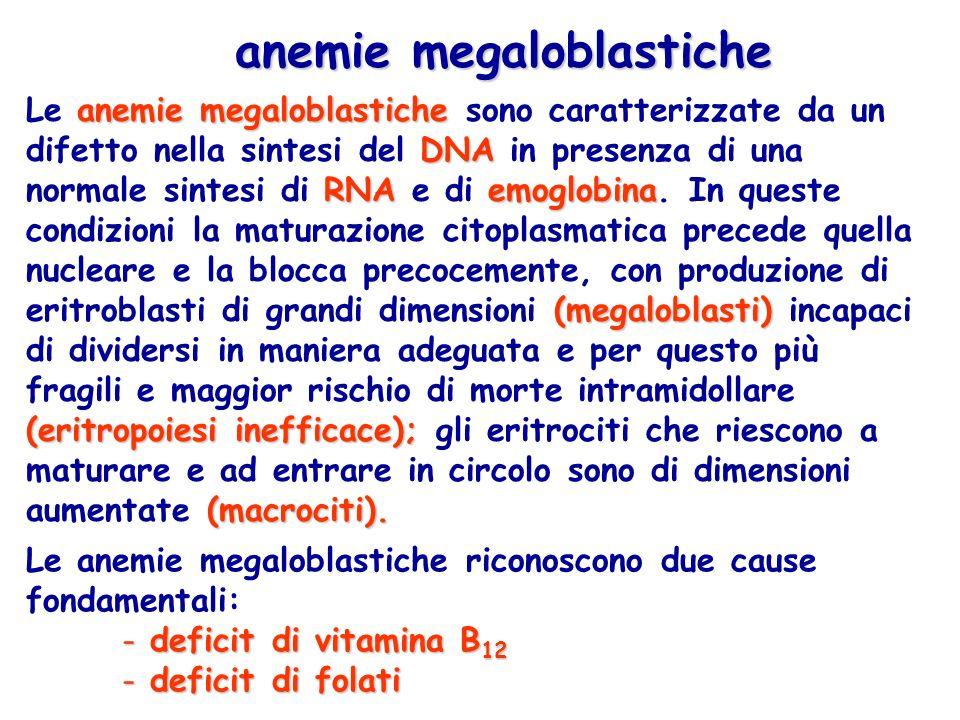 anemie megaloblastiche DNA RNA emoglobina (megaloblasti) (eritropoiesi inefficace); (macrociti).