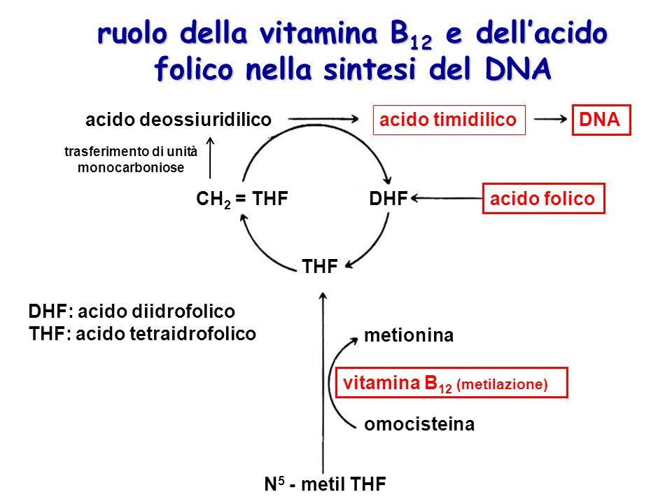 ruolo della vitamina B 12 e dellacido folico nella sintesi del DNA CH 2 = THFDHF THF acido folico vitamina B 12 (metilazione) metionina omocisteina acido timidilico acido deossiuridilico DNA N 5 - metil THF trasferimento di unità monocarboniose DHF: acido diidrofolico THF: acido tetraidrofolico