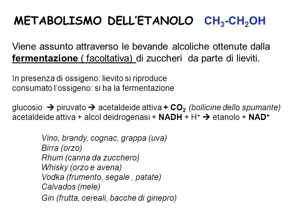 METABOLISMO DELLETANOLO CH 3 -CH 2 OH Viene assunto attraverso le bevande alcoliche ottenute dalla fermentazione ( facoltativa) di zuccheri da parte d