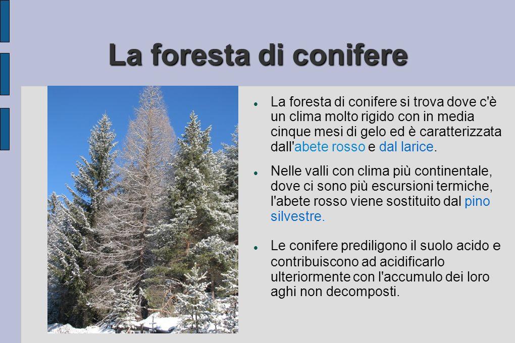La foresta di conifere La foresta di conifere si trova dove c è un clima molto rigido con in media cinque mesi di gelo ed è caratterizzata dall abete rosso e dal larice.
