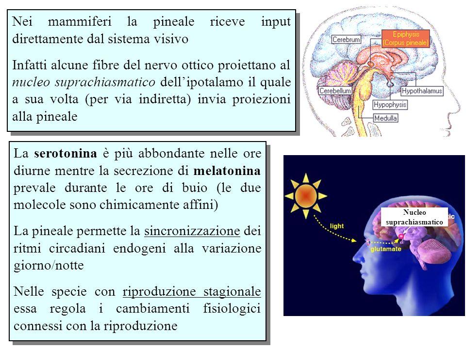 Nei mammiferi la pineale riceve input direttamente dal sistema visivo Infatti alcune fibre del nervo ottico proiettano al nucleo suprachiasmatico dell