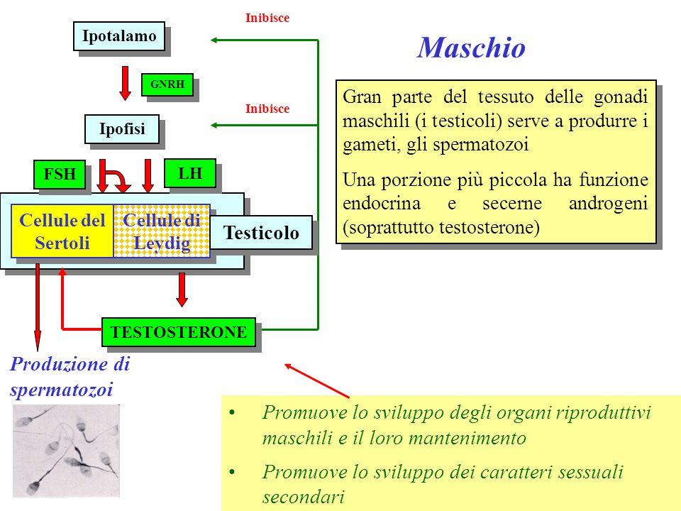 Femmina Ipotalamo GNRH Maturazione del follicolo Ipofisi LH FSH ESTROGENI Trasformazione in corpo luteo PROGESTERONE Prepara le pareti dellutero allimpianto Inibisce lestro durante la gravidanza Prepara il seno per lallattamento GRAVIDANZA Promuovono lo sviluppo e il mantenimento degli organi sessuali Promuovono le caratteristiche sessuali secondarie Promuovono il ciclo ovarico CICLO OVARICO Ovaia Le gonadi femminili (ovaie) producono i gameti ma hanno anche funzione endocrina.