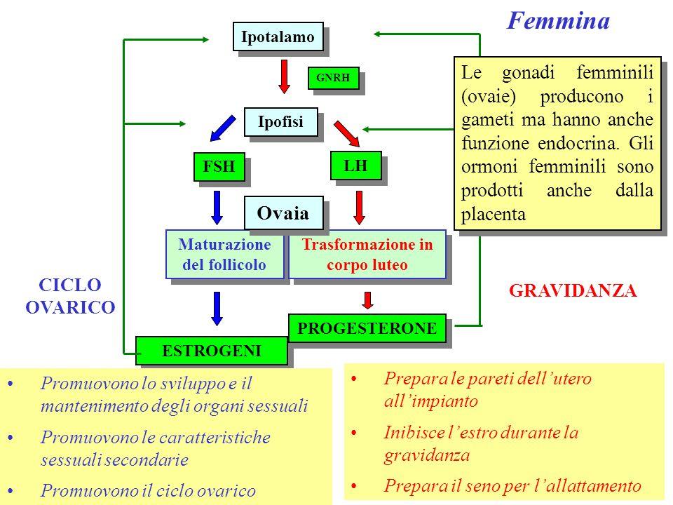Femmina Ipotalamo GNRH Maturazione del follicolo Ipofisi LH FSH ESTROGENI Trasformazione in corpo luteo PROGESTERONE Prepara le pareti dellutero allim