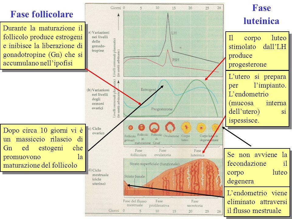 Gli ormoni del pancreas La concentrazione di glucosio nel sangue e il metabolismo glucidico in generale sono regolati da due ormoni prodotti entrambi dal pancreas, linsulina e il glucagone Insulina Favorisce lassorbimento di glucosio nelle cellule (fegato e muscoli soprattutto) e la sua conversione in glicogeno Favorisce anche la sintesi di acidi grassi dal glucosio e il deposito di trigliceridi Favorisce la sintesi proteica Favorisce lassorbimento di glucosio nelle cellule (fegato e muscoli soprattutto) e la sua conversione in glicogeno Favorisce anche la sintesi di acidi grassi dal glucosio e il deposito di trigliceridi Favorisce la sintesi proteica Glucagone Favorisce la conversione di glicogeno in glucosio e il rilascio di glucosio nel sangue