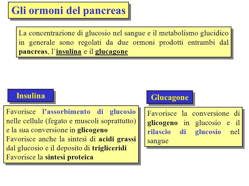 Isole di Langerhans Al dotto pancreatico Secrezione nel sangue Cellule alfa (glucagone) Cellule beta (insulina) Il pancreas è principalmente una ghiandola esocrina (produce enzimi digestivi) ma al suo interno si trova una porzione, le Isole di Langerhans, che producono sia linsulina (cellule beta) che il glucagone (cellule alfa) Dotto pancreatico Dotto biliare Duodeno Porzione esocrina che secerne enzimi nellintestino tenue Isole di Langerhans