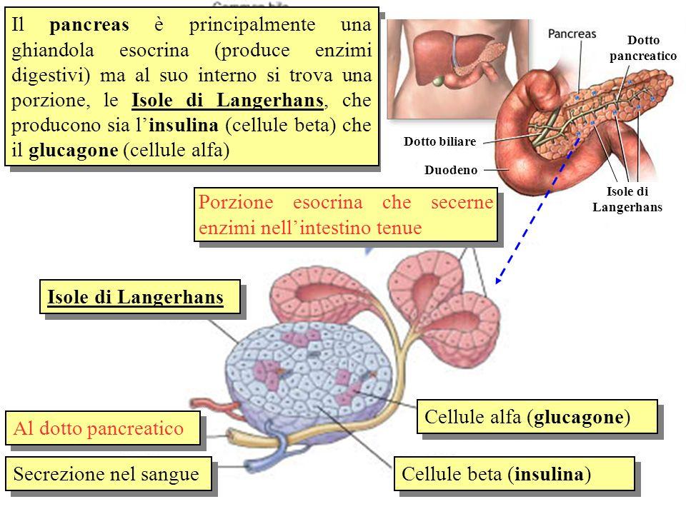 Isole di Langerhans Al dotto pancreatico Secrezione nel sangue Cellule alfa (glucagone) Cellule beta (insulina) Il pancreas è principalmente una ghian