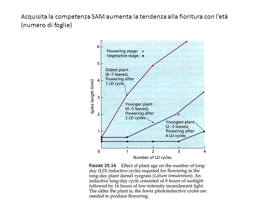 Acquisita la competenza SAM aumenta la tendenza alla fioritura con letà (numero di foglie)