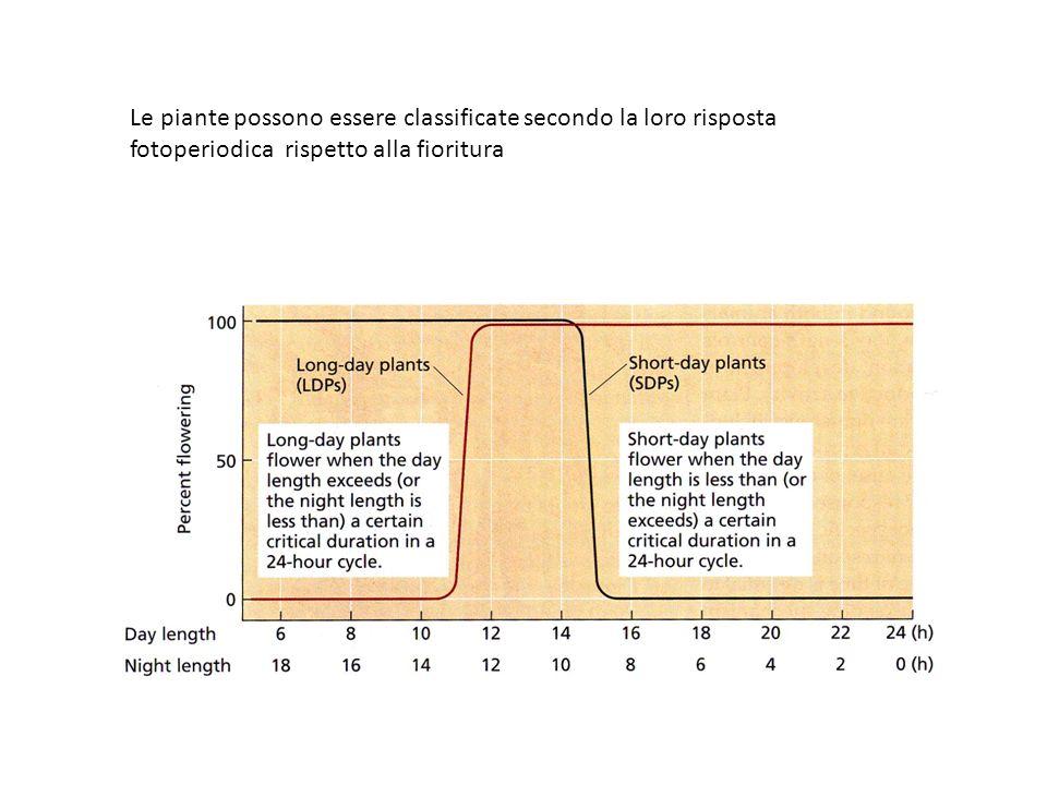 Le piante possono essere classificate secondo la loro risposta fotoperiodica rispetto alla fioritura