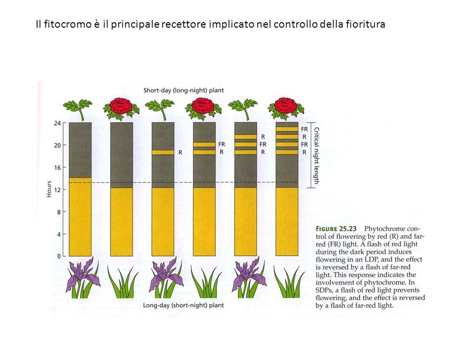 Il fitocromo è il principale recettore implicato nel controllo della fioritura