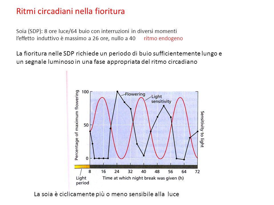 Ritmi circadiani nella fioritura Soia (SDP): 8 ore luce/64 buio con interruzioni in diversi momenti leffetto induttivo è massimo a 26 ore, nullo a 40 ritmo endogeno La fioritura nelle SDP richiede un periodo di buio sufficientemente lungo e un segnale luminoso in una fase appropriata del ritmo circadiano La soia è ciclicamente più o meno sensibile alla luce
