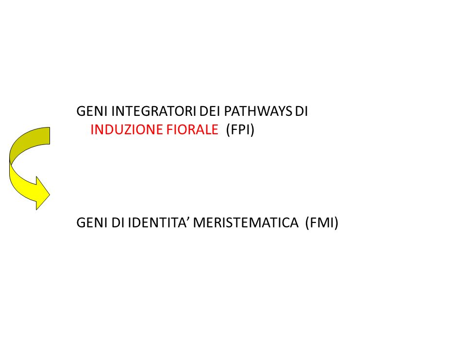 GENI INTEGRATORI DEI PATHWAYS DI INDUZIONE FIORALE (FPI) GENI DI IDENTITA MERISTEMATICA (FMI)