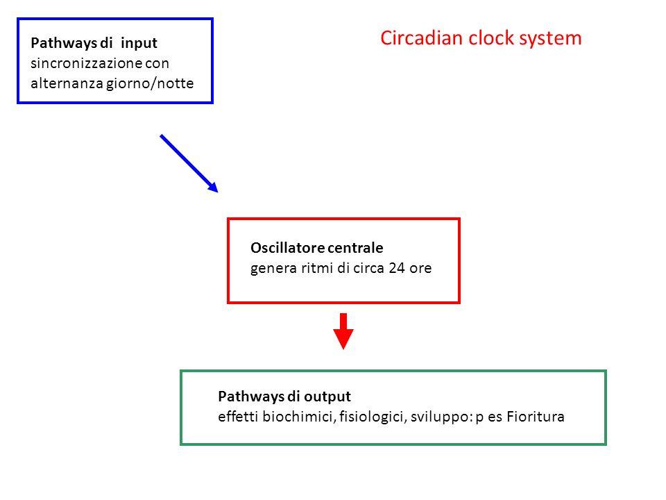 Oscillatore centrale genera ritmi di circa 24 ore Pathways di input sincronizzazione con alternanza giorno/notte Pathways di output effetti biochimici, fisiologici, sviluppo: p es Fioritura Circadian clock system