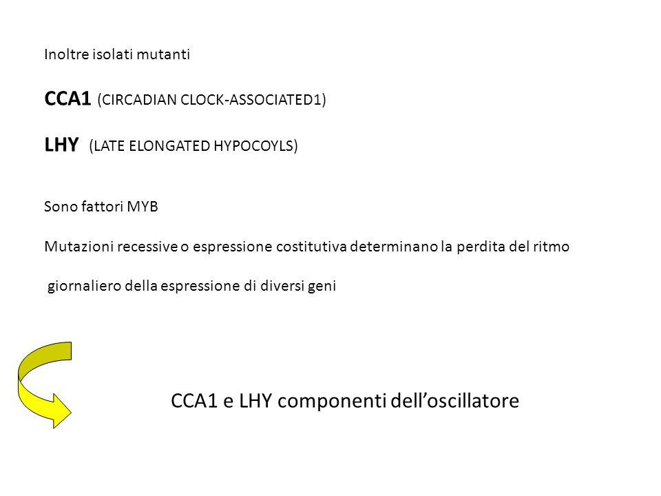 Inoltre isolati mutanti CCA1 (CIRCADIAN CLOCK-ASSOCIATED1) LHY (LATE ELONGATED HYPOCOYLS) Sono fattori MYB Mutazioni recessive o espressione costitutiva determinano la perdita del ritmo giornaliero della espressione di diversi geni CCA1 e LHY componenti delloscillatore