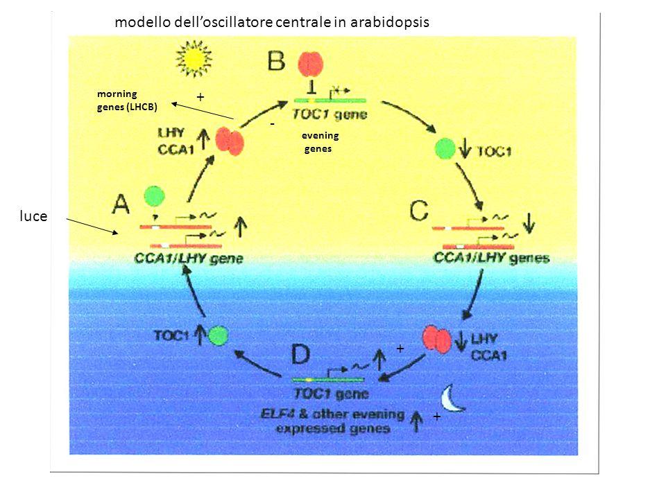 morning genes (LHCB) evening genes + - + + luce modello delloscillatore centrale in arabidopsis