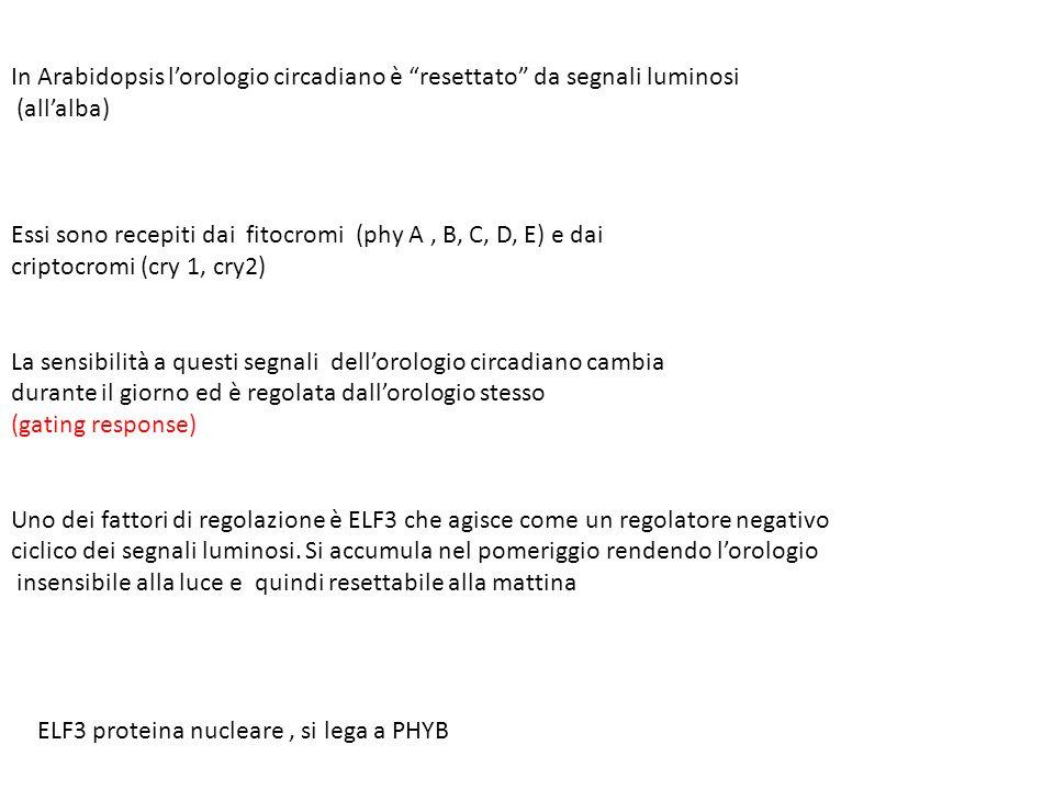 In Arabidopsis lorologio circadiano è resettato da segnali luminosi (allalba) Essi sono recepiti dai fitocromi (phy A, B, C, D, E) e dai criptocromi (cry 1, cry2) La sensibilità a questi segnali dellorologio circadiano cambia durante il giorno ed è regolata dallorologio stesso (gating response) Uno dei fattori di regolazione è ELF3 che agisce come un regolatore negativo ciclico dei segnali luminosi.