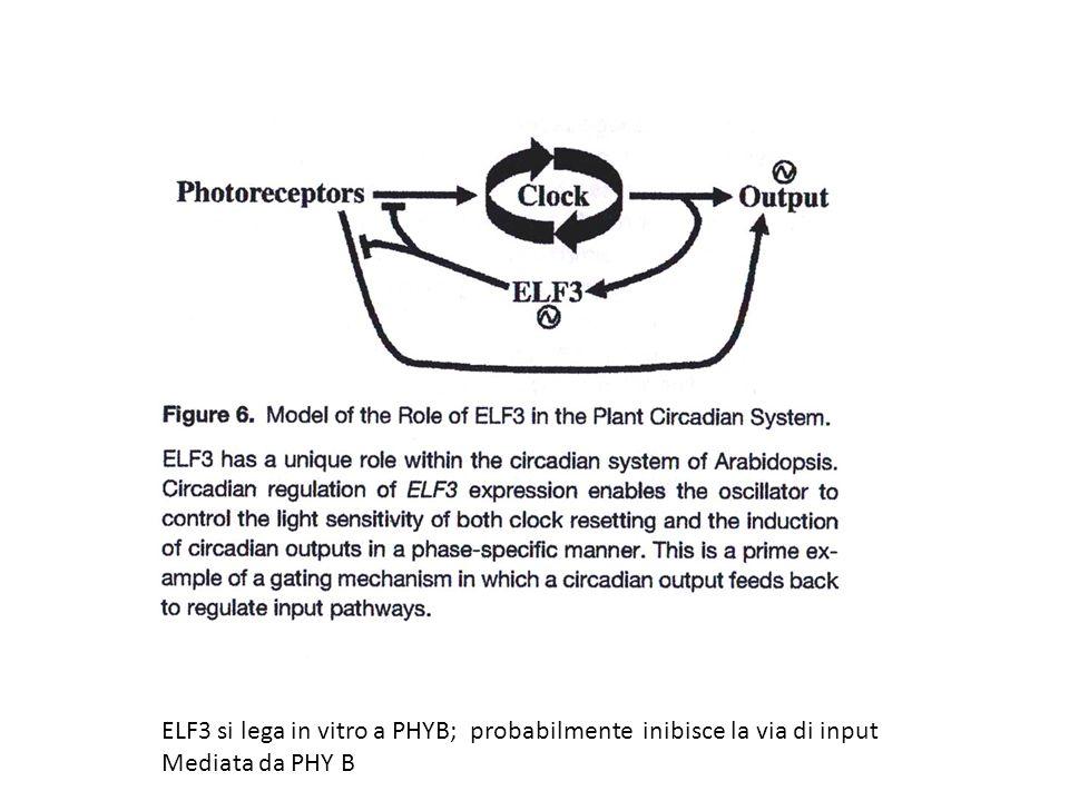 ELF3 si lega in vitro a PHYB; probabilmente inibisce la via di input Mediata da PHY B